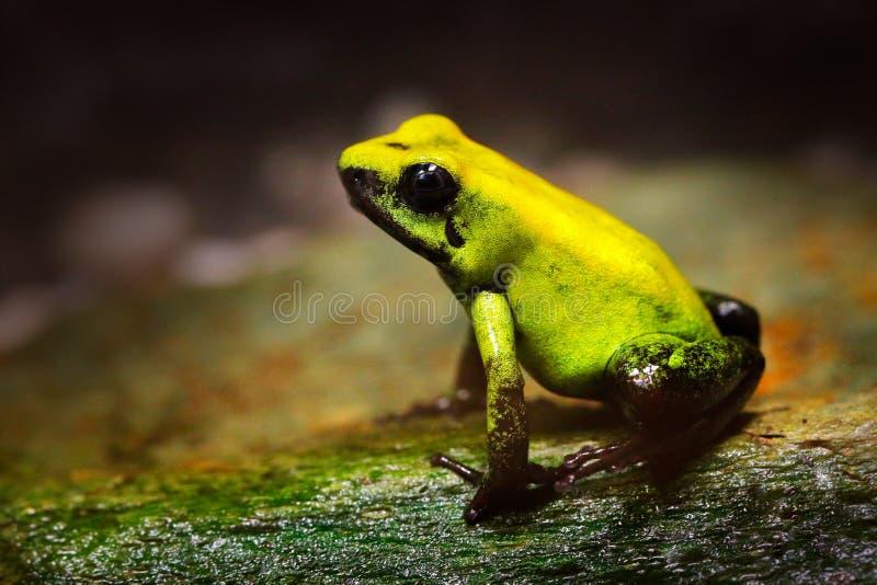 Rana de oro del veneno, terribilis de Phyllobates, rana amarilla del veneno en naturaleza tropical Pequeña rana del Amazonas en h fotos de archivo libres de regalías