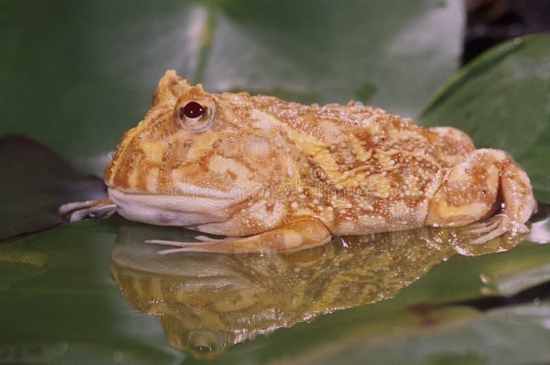 Rana del corno dell'albino (cranwelli dei ceratophrys) immagine stock libera da diritti