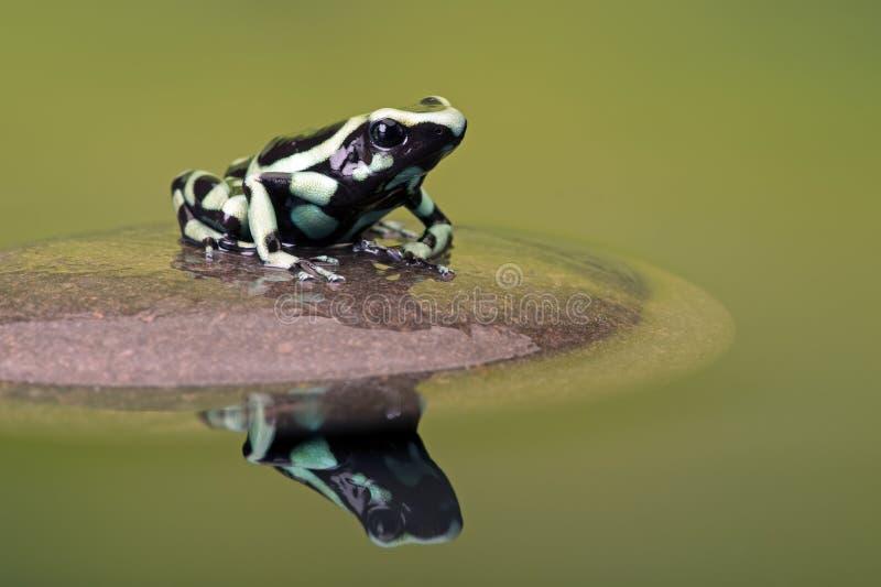 Rana del dardo del veleno (Dendrobates Auratus) fotografia stock libera da diritti