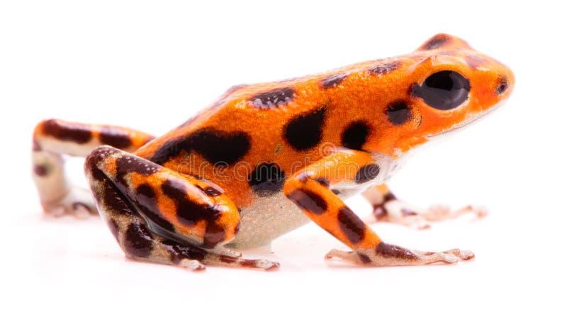 Rana del dardo del veneno, Animal anaranjado venenoso tropical de la selva tropical, pumilio de Oophaga fotografía de archivo libre de regalías