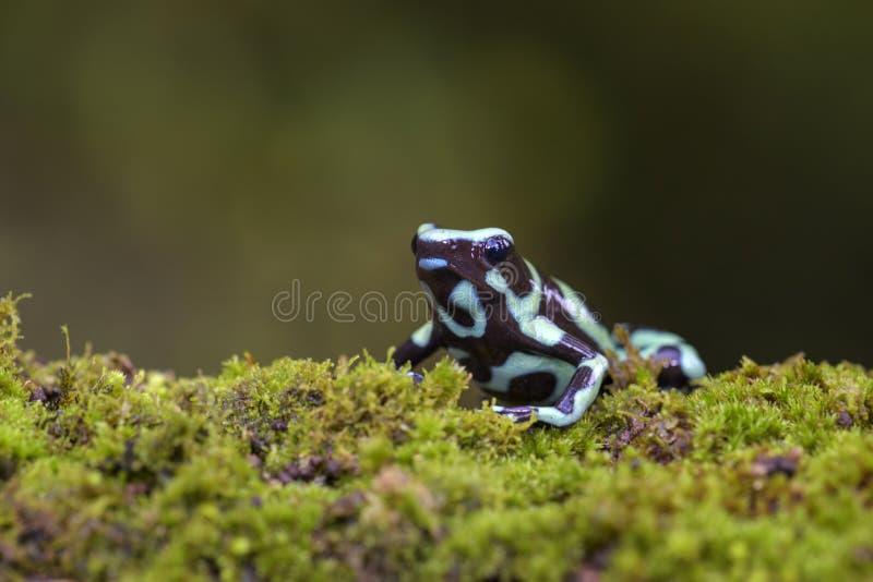 Rana del veleno del dardo - auratus di Dendrobates immagine stock
