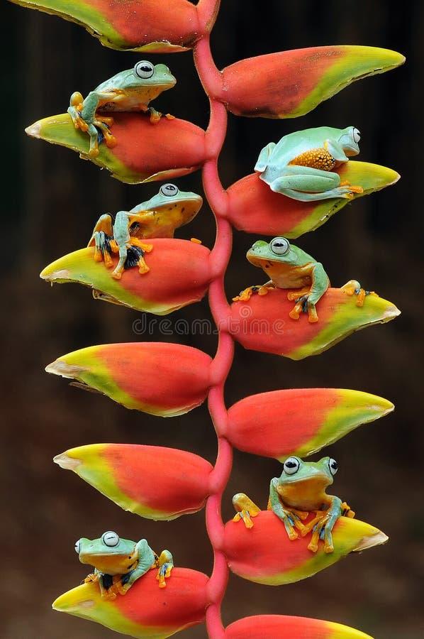 rana del vuelo, ranas, rana arbórea, anfibios, animales, fotografía macra, macra, fotografía animal, fotos de los animales, nigr  fotografía de archivo