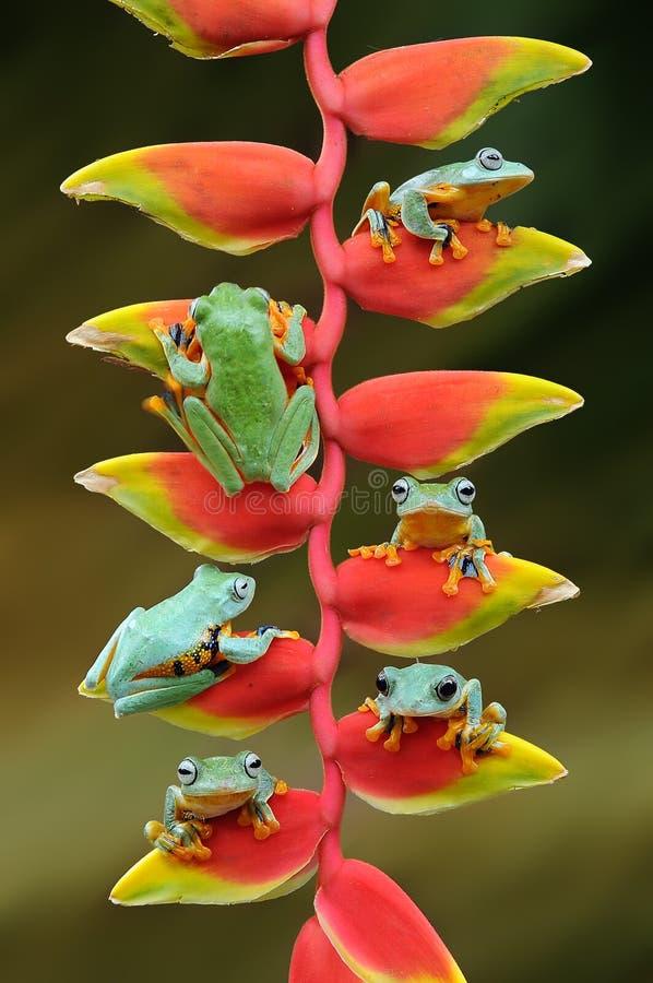 rana del vuelo, ranas, rana arbórea, anfibios, animales, fotografía macra, macra, fotografía animal, fotos de los animales, nigr  imagen de archivo libre de regalías