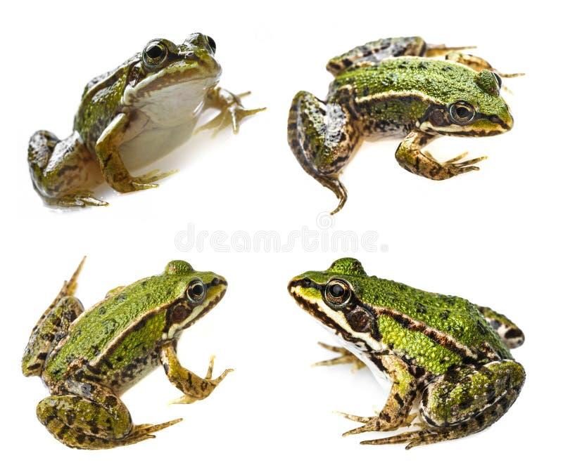 Rana della rana esculenta fotografie stock