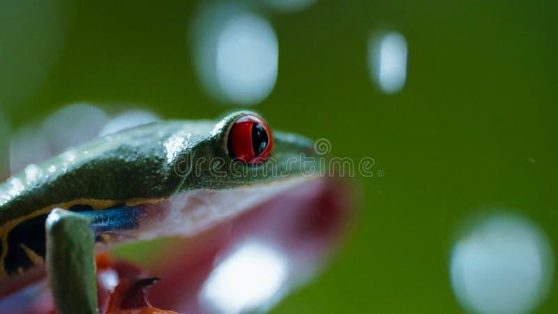 Rana di albero con gli occhi rossi di Amazon Agalychnis Callidryas sotto la pioggia immagini stock