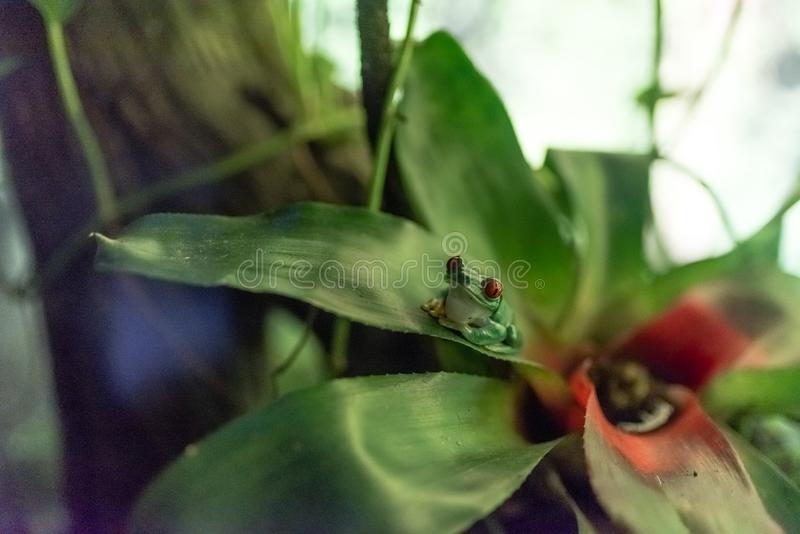 Rana di albero con gli occhi rossi su una foglia di una pianta fotografia stock