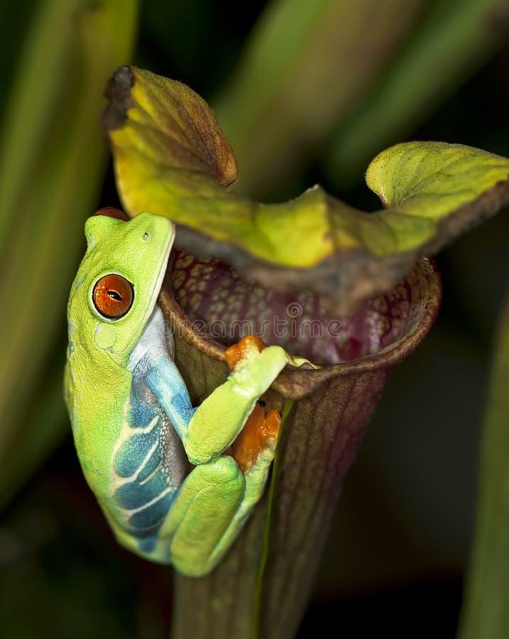 Rana di albero con gli occhi rossi sulla pianta di lanciatore fotografia stock