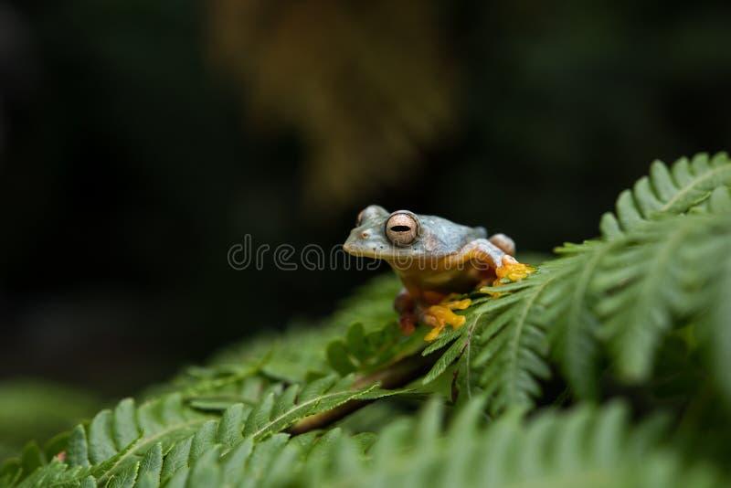 Rana di albero Doppio macchiata bipunctatus di Rhacophorus, Arancio-palmata fotografie stock libere da diritti