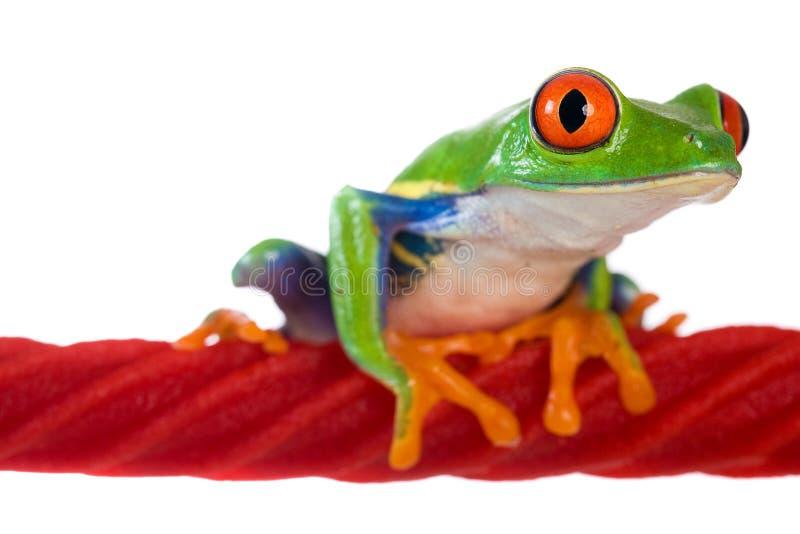 Rana di albero Eyed rossa su una corda della liquirizia fotografia stock libera da diritti