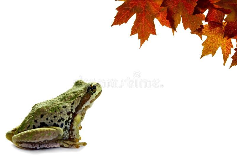 Rana di albero pacifica che si siede con le foglie di acero di caduta fotografie stock