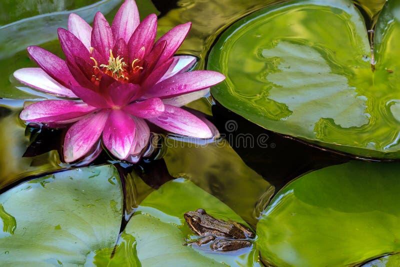 Rana di albero pacifica che si siede sull'acqua Lily Pad fotografia stock libera da diritti