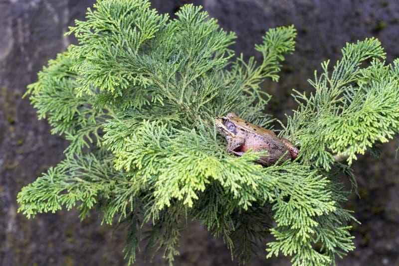 Rana di albero pacifica sulla filiale di albero fotografia stock libera da diritti