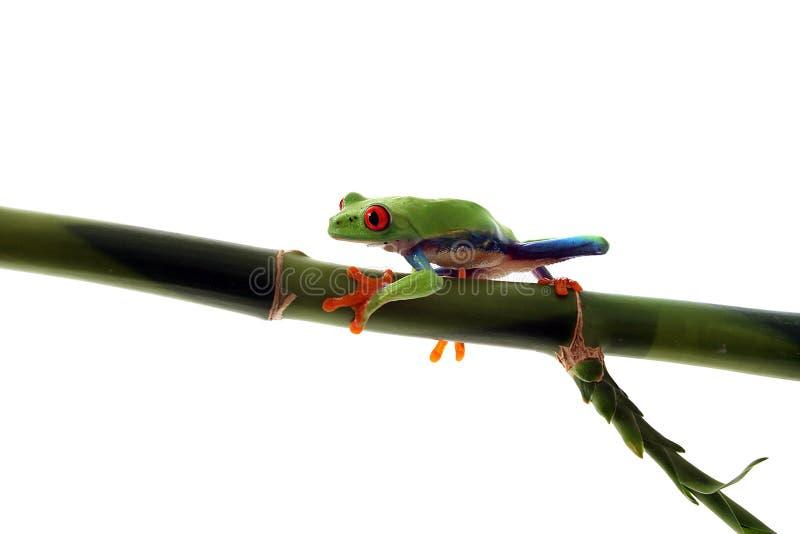 Rana di albero Red-Eyed che cammina sul bambù fotografia stock