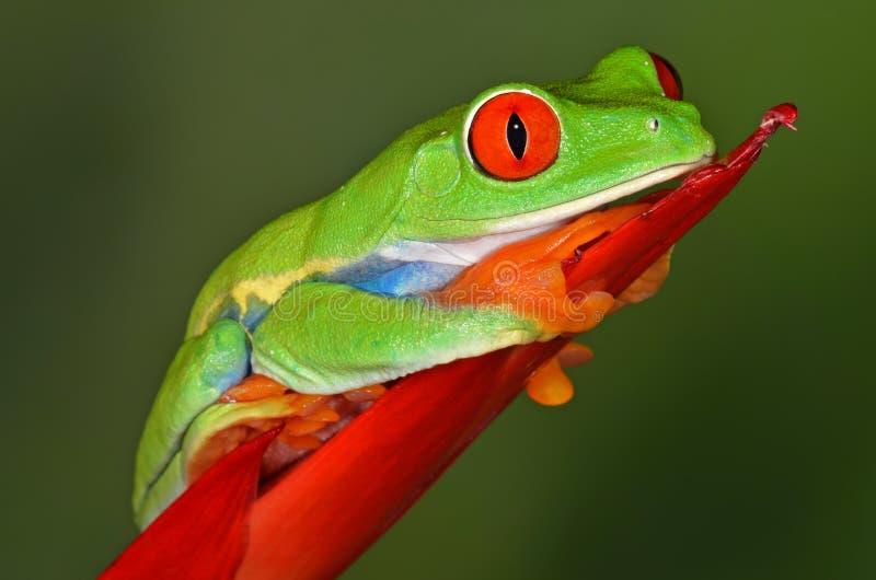 Rana di albero rossa dell'occhio immagine stock libera da diritti