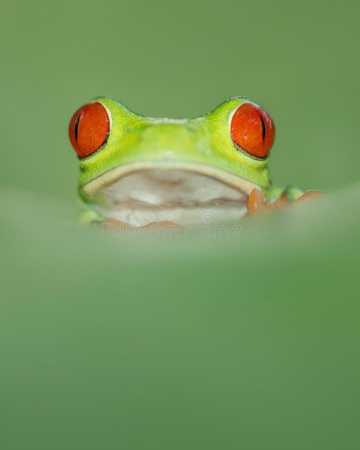 Rana di albero rossa dell'occhio dalla Costa Rica con il grande occhi rossi, alzante o verticalmente immagini stock
