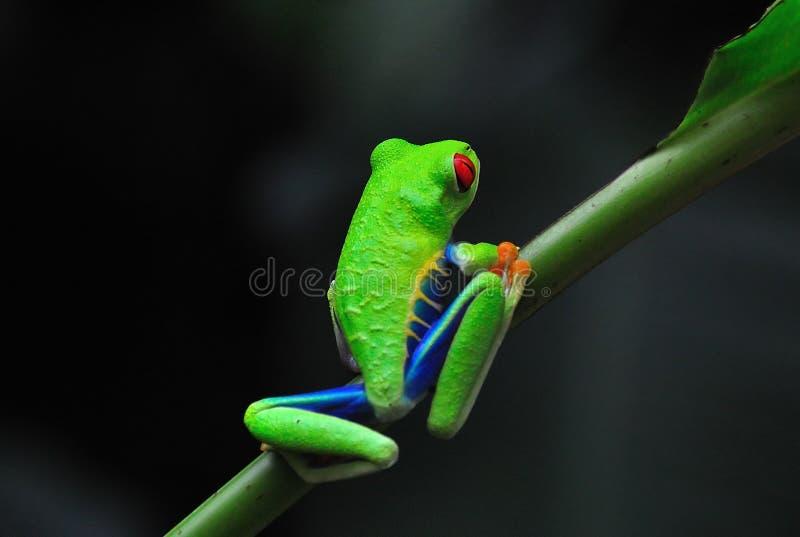 Rana di albero rossa dell'occhio della Costa Rica fotografie stock