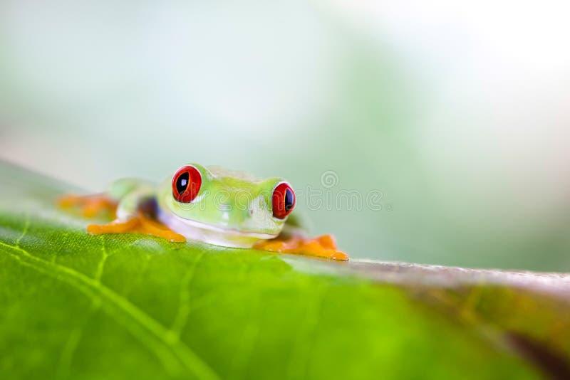 Rana di albero rossa dell'occhio sulla foglia su fondo variopinto fotografie stock