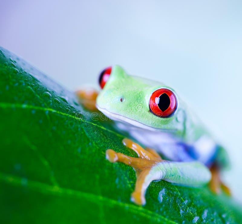 Rana di albero rossa dell'occhio sulla foglia su fondo variopinto fotografia stock libera da diritti