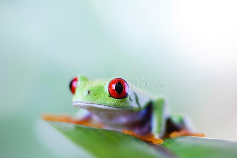 Rana di albero rossa dell'occhio sulla foglia su fondo variopinto fotografia stock