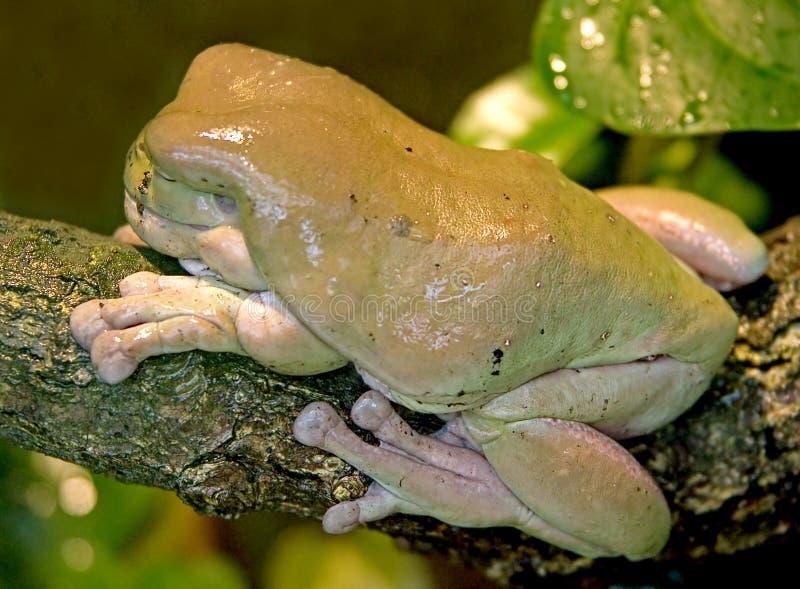 Download Rana di albero verde 1 fotografia stock. Immagine di animale - 3883480