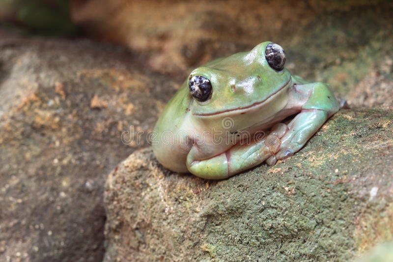 Rana di albero verde americana fotografie stock