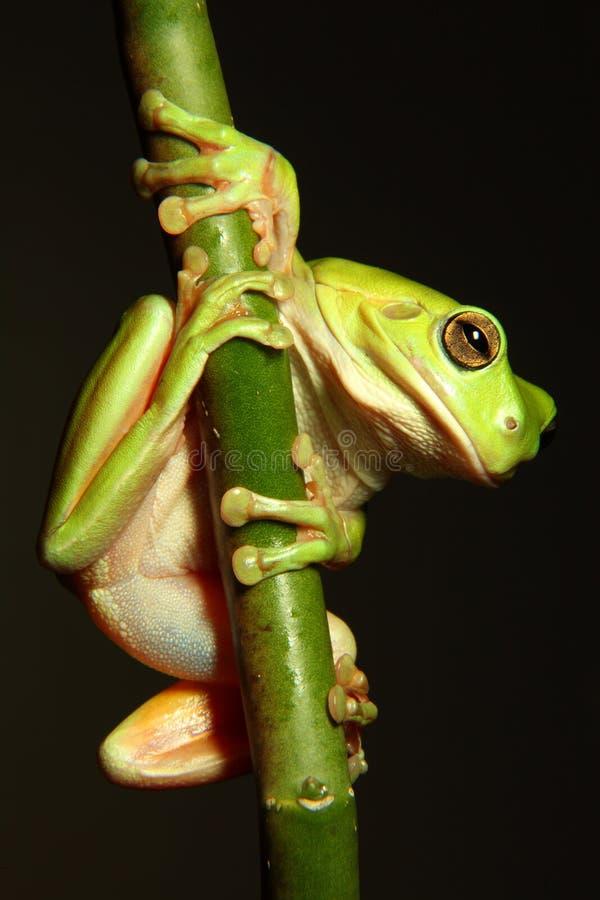 Rana di albero verde che pende dalla filiale fotografia stock
