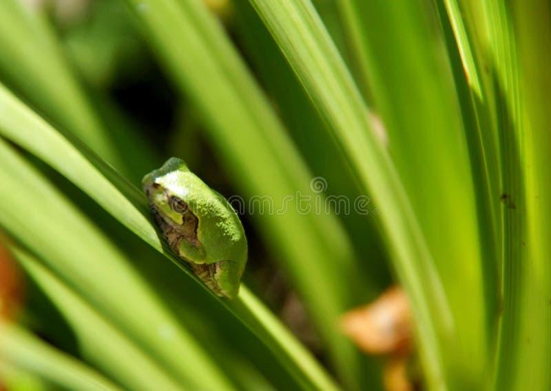 Rana di albero verde che si siede sull'erba fotografie stock
