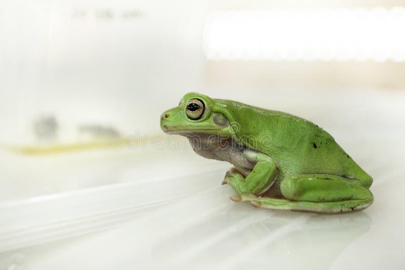 Rana di albero verde o rana di albero tarchiata fotografia stock libera da diritti