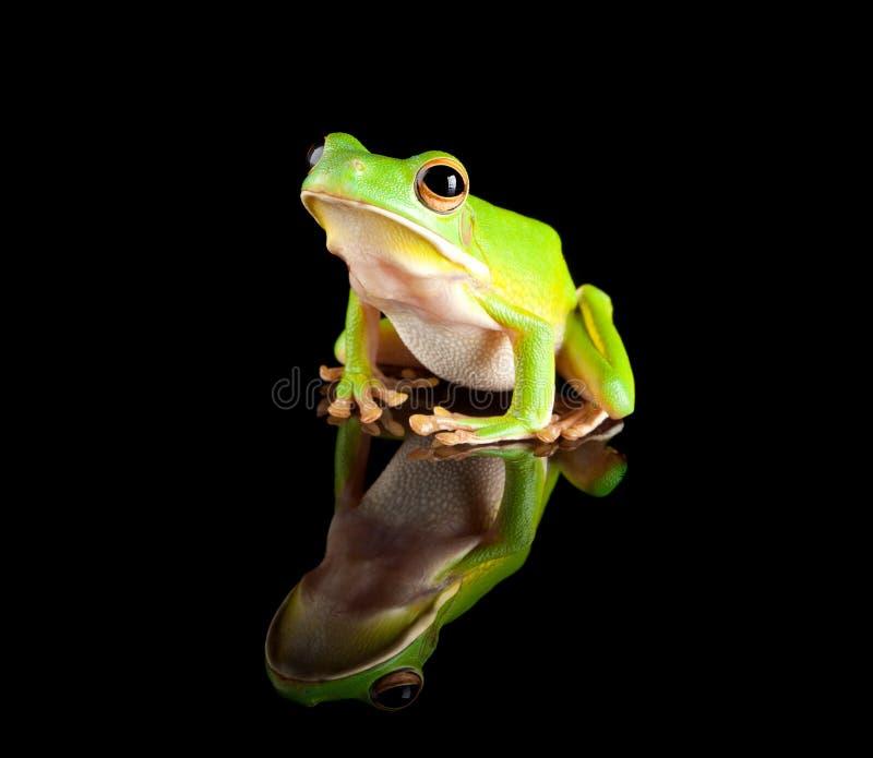 Rana di albero verde riflessa fotografia stock