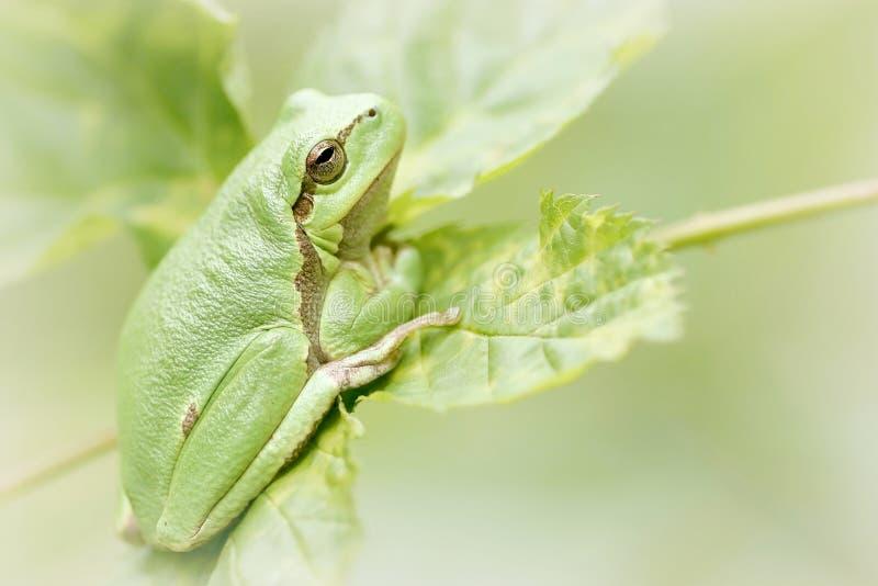 Rana di albero verde su un foglio fotografia stock libera da diritti