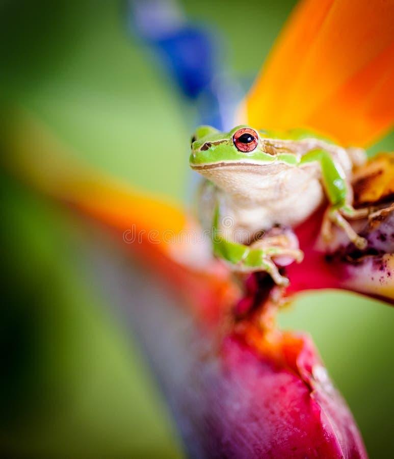 Rana di albero verde sull'uccello del fiore di paradiso fotografia stock libera da diritti