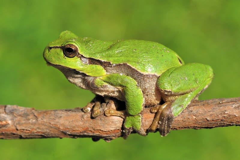 Rana di albero verde sulla filiale immagine stock libera da diritti