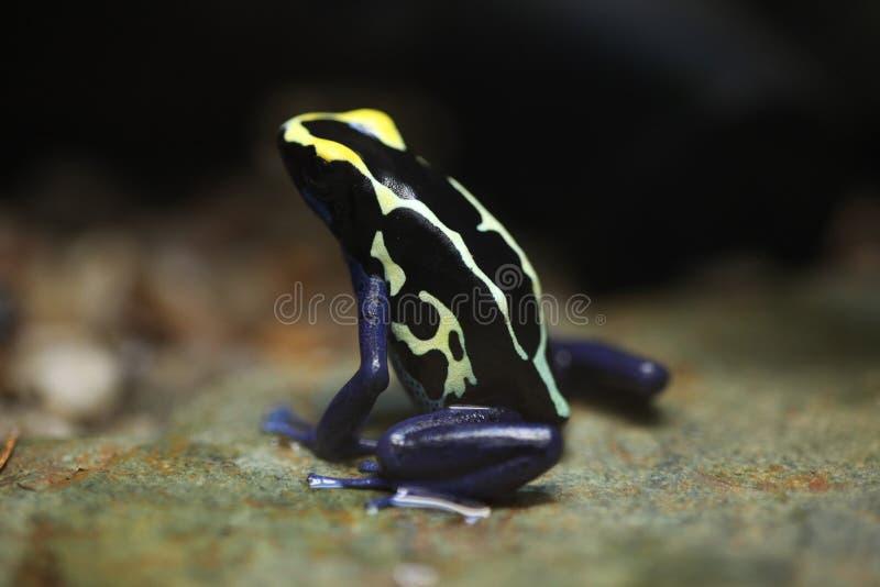 Rana di tintura del dardo (tinctorius di Dendrobates) fotografie stock libere da diritti
