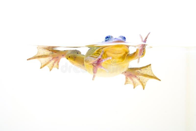 Rana en agua foto de archivo