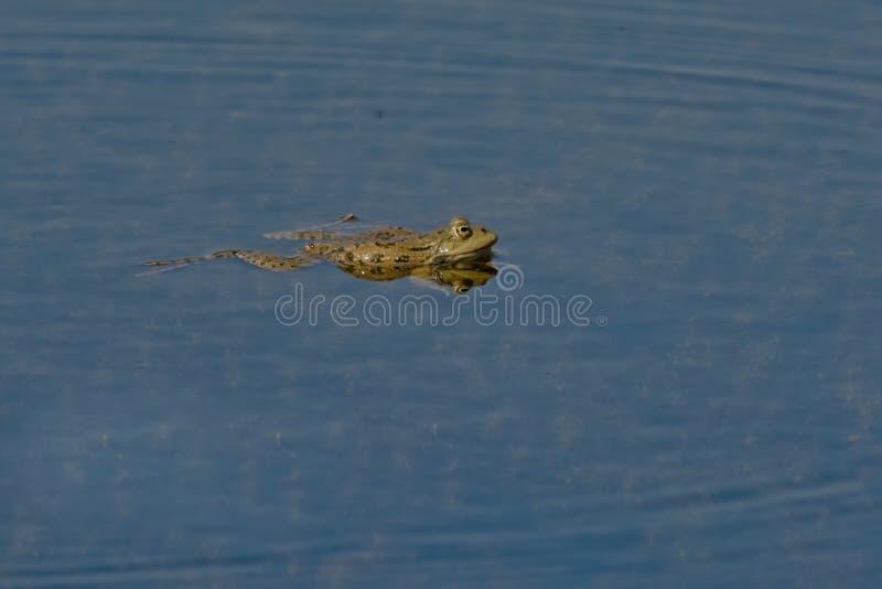 Rana en la charca, reflejando en el agua - anura imagenes de archivo