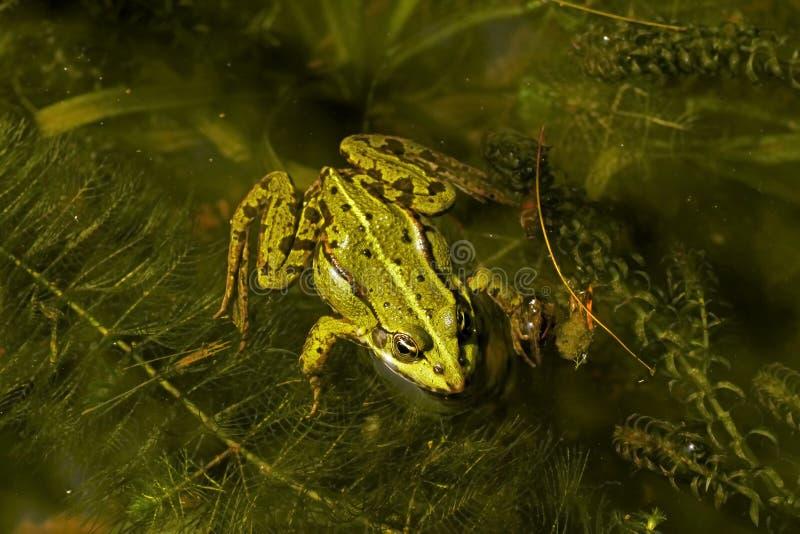 Rana esculenta - Edible frog royalty free stock image