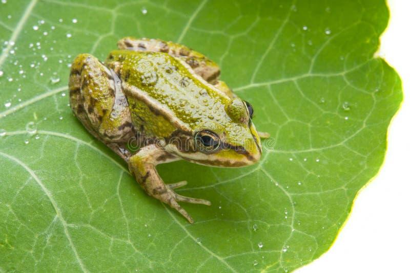 Rana esculenta - rana verde europea comune immagine stock