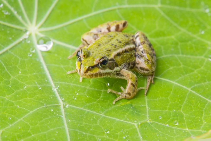 Rana esculenta - rana verde europea comune fotografia stock libera da diritti