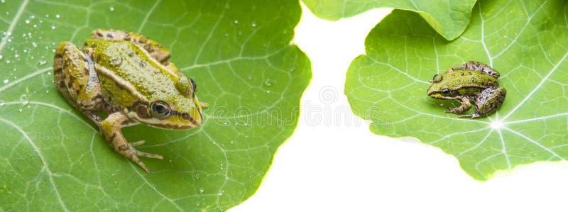 Rana esculenta - rana verde europea comune immagini stock libere da diritti