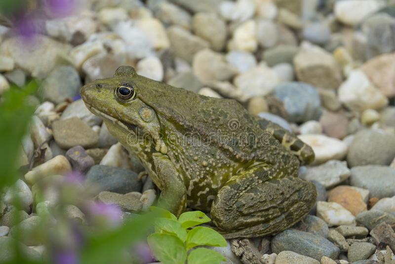 Rana esculenta - rana verde europea comune fotografia stock