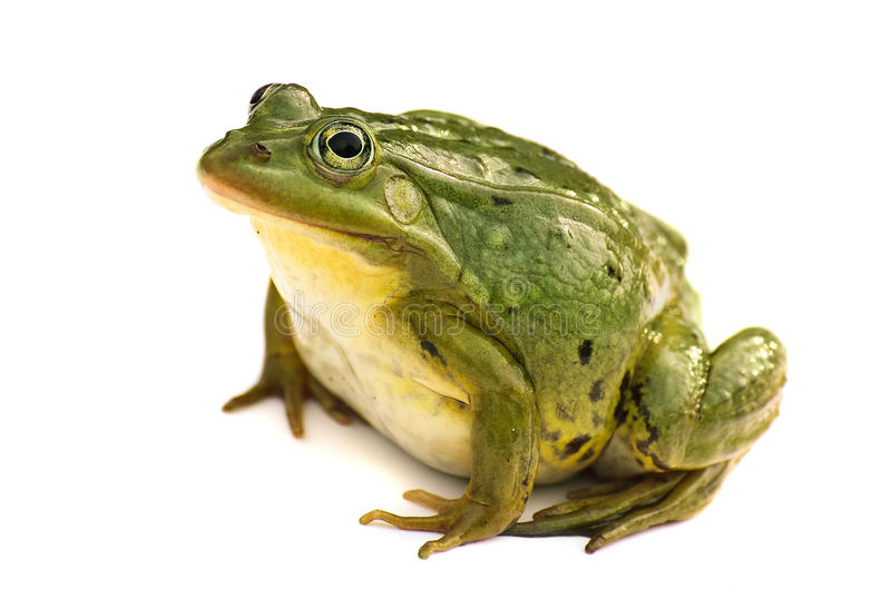 Rana esculenta Verde, europeo o acqua, rana su fondo bianco fotografie stock