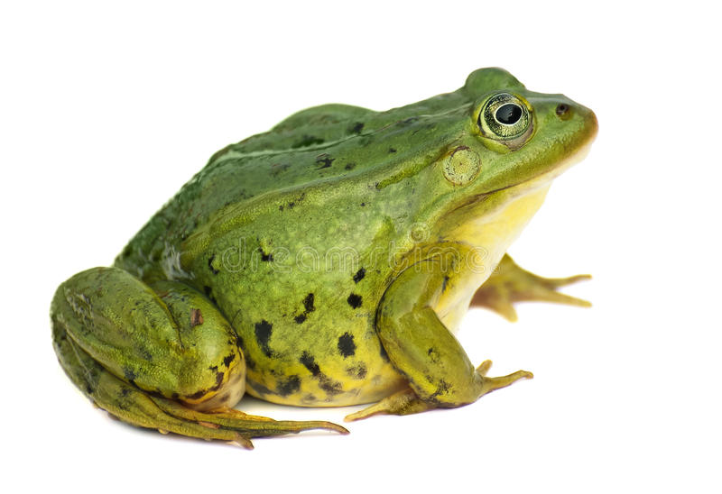 Rana esculenta Vert, Européen ou eau, grenouille sur le fond blanc images stock