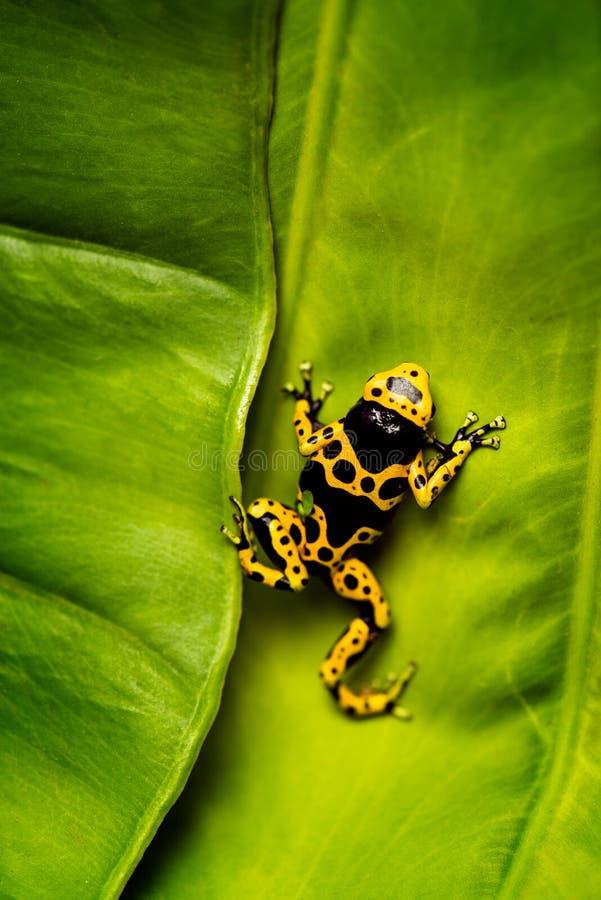 Rana gialla e nera del dardo del veleno sulla foglia fotografia stock