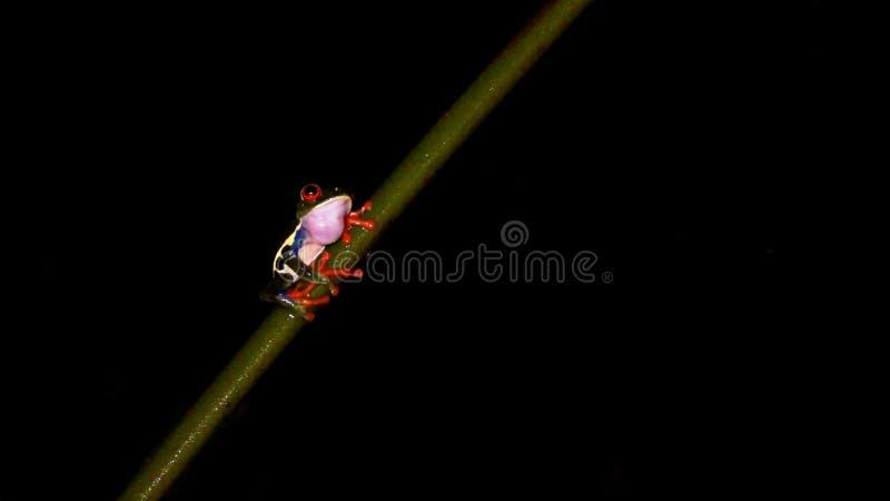 Rana hermosa en la noche imagenes de archivo