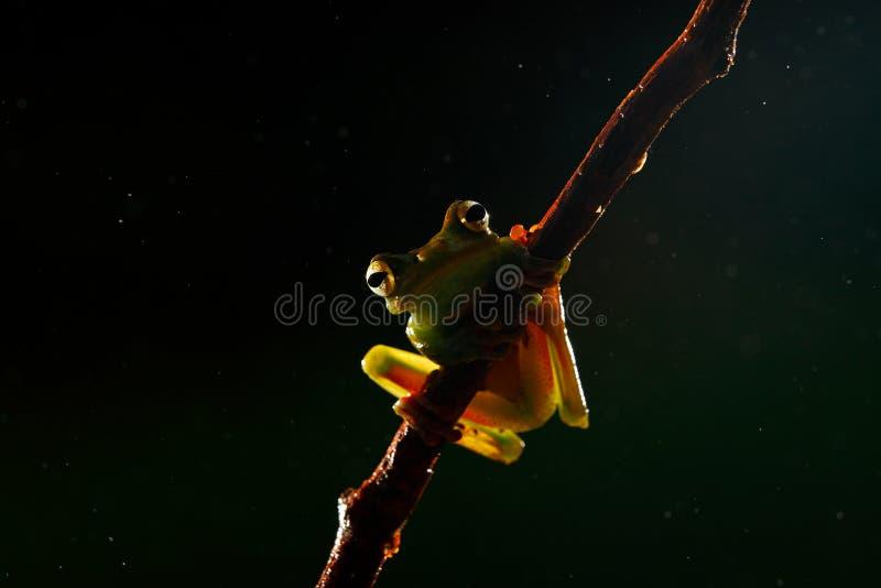 Rana hermosa en la noche Olive Tree Frog, elaeochroa de Scinax, de la selva tropical del bosque de Costa Rica con el animal Vista fotos de archivo