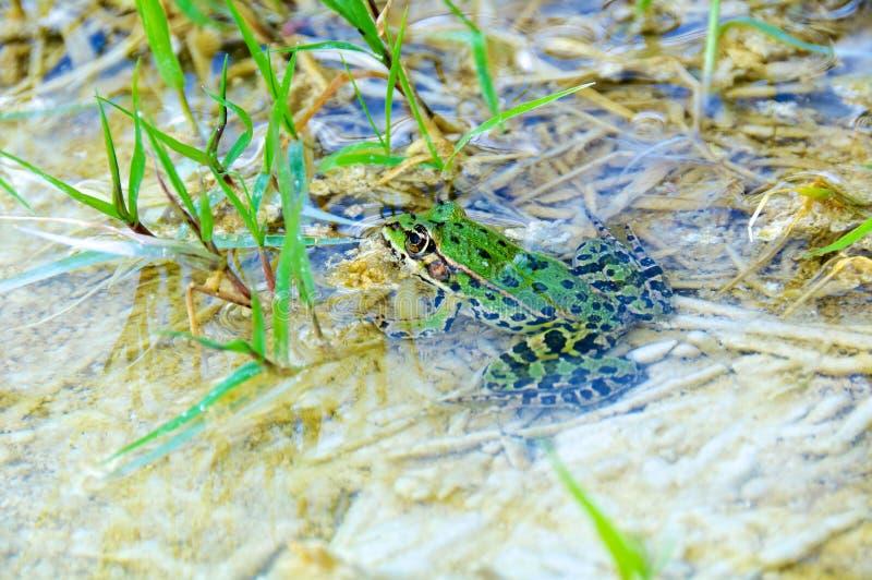 Rana kl. Esculenta, Common European Frog, Edible Frog royalty free stock image
