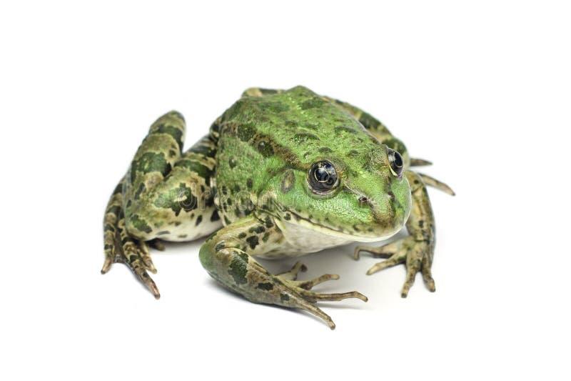 Rana manchada verde clara grande imagen de archivo libre de regalías