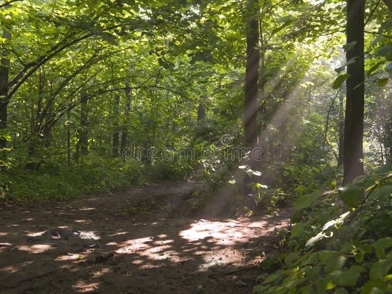 rana mgliście drewna zdjęcia royalty free