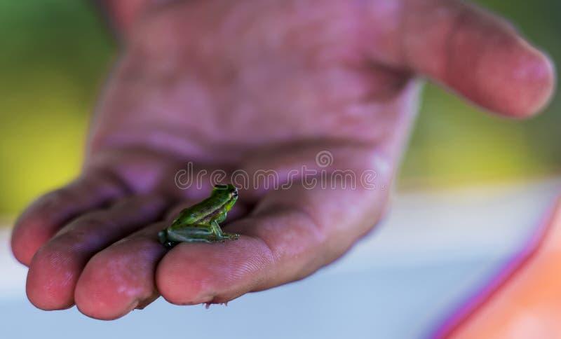 Rana minúscula en mano humana en la selva del Amazonas de Perú imágenes de archivo libres de regalías