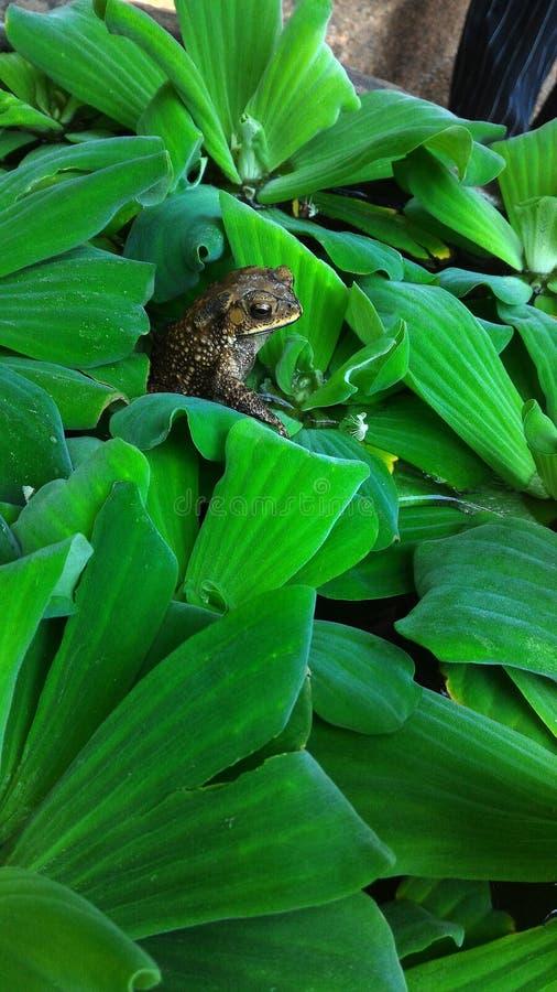 Rana nascosta sul barattolo della pianta acquatica immagine stock